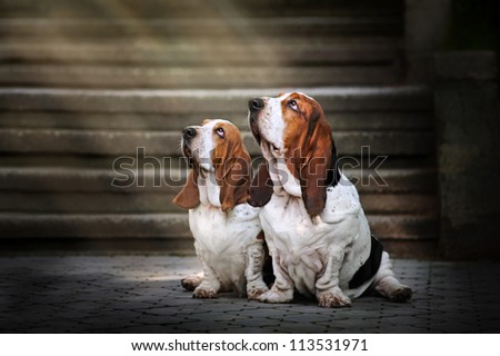 two dog Basset hound sitting and looks up at light