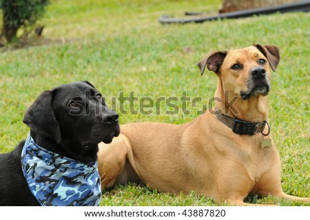 Two Dog Friends in the Down Position Awaiting their Commands