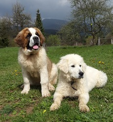 Two dog puppies, Slovak Cuvac and Saint Bernard,two cuties!