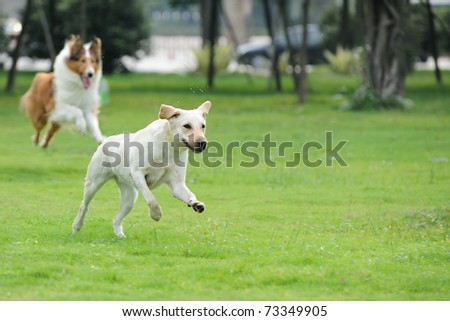 Two dog running and chasing on the lawn
