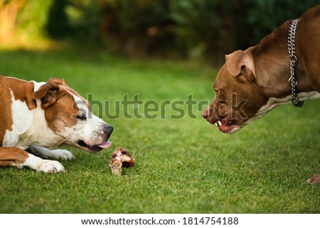 Two dogs amstaff terriers fighting over food. Young and old dog agressive behaviour. Canine theme Stock photo ©