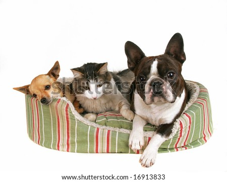 two dogs and a kitten in a pet bed - stock photo
