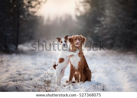 two dogs and a Nova Scotia Duck Tolling Retriever and Jack Russell in nature from Christmas trees #527368075
