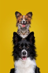 two dogs and one cat staring at camera in front of a yellow background
