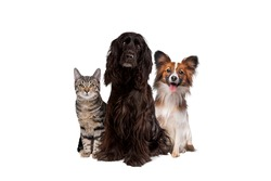 two dogs and one tabby cat sitting in front of a white background. all looking at camera