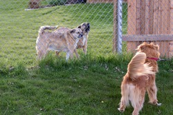 Two dogs are behind a fence while another one is in front of the fence, on leash, being pulled away. One of the dogs behind the fence looks angry and the other is barking.