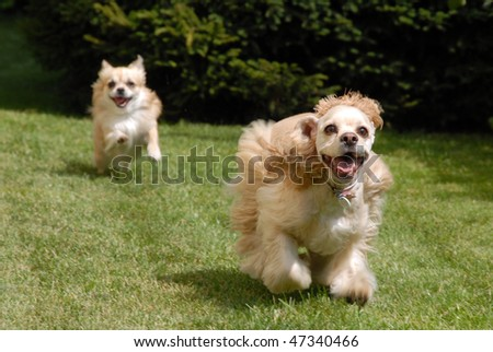 Two dogs are playing and chasing each other