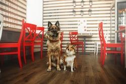 Two dogs at the restauran. German shephered dog. Shetland Sheepdog.