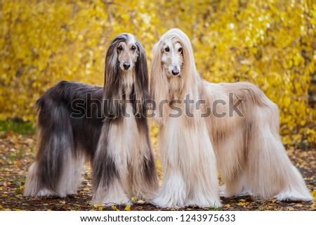 Two dogs, beautiful Afghan greyhounds, full-length portrait, against the background of the autumn forest, are looking at the camera. #1243975633