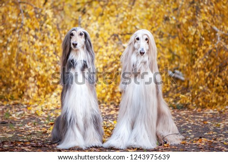 Two dogs, beautiful Afghan greyhounds, portrait, against the background of the autumn forest, are looking at the camera. #1243975639