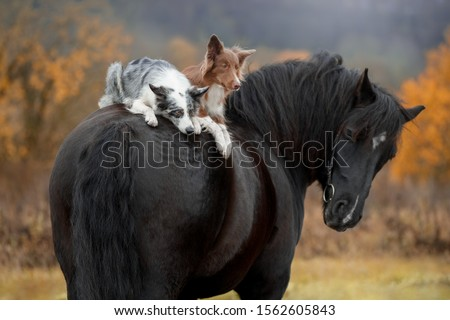 Two dogs breed Border Collie riding on horse breed Percheron Stockfoto ©