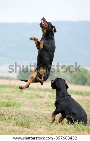 Two dogs, breed Slovakian Hound jump #357683432