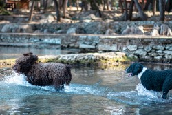Two dogs chasing each other in shallow water, playing chase during a warm summer day