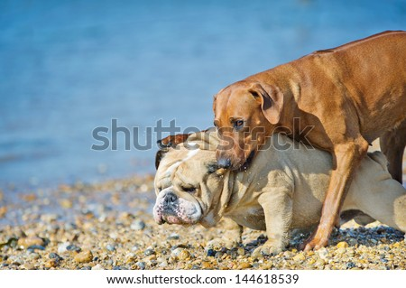 Two dogs friends playing at the see beach coast