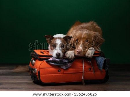 two dogs help get ready for a trip. Pet with a suitcase. Nova Scotia Duck Tolling Retriever and Jack Russell Terrier indoors