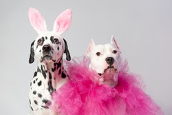 Two dogs in funny pink costums in front of white background. Dalmatian and staffordshire with rabbit ears and pink collars. Friendship concept