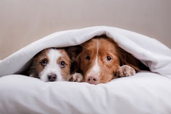 two dogs lay on the pillow in bed. Jack Russell Terrier and Nova Scotia duck tolling Retriever