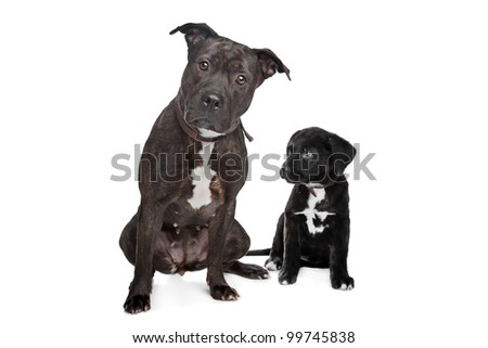 two dogs.left mix pitbull,right mixed Great Dane, Rottweiler. - stock ...