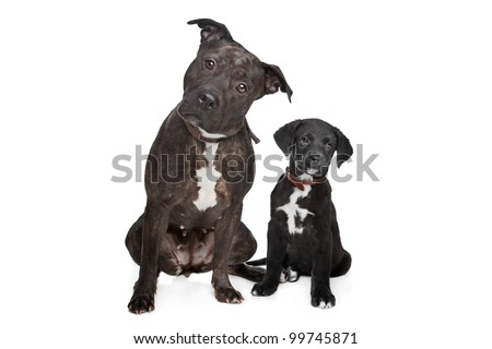 Free Photos Mixed Breed Puppy Great Dane Rottweiler In Front Of A