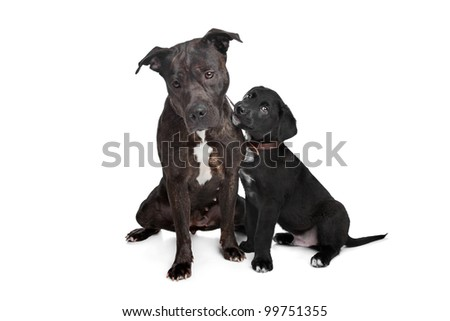 two dogs.left mix pitbull,right mixed Great Dane, Rottweiler. - stock