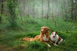 two dogs lies on emerald moss in the forest. Jack Russell Terrier and the Nova Scotia Duck Tolling Retriever in nature.