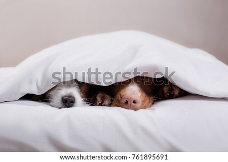 two dogs nose from under the blanket. Pets sleeping