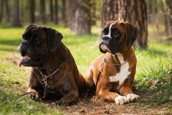 Two dogs of breed German boxer lie and pose in the forest.