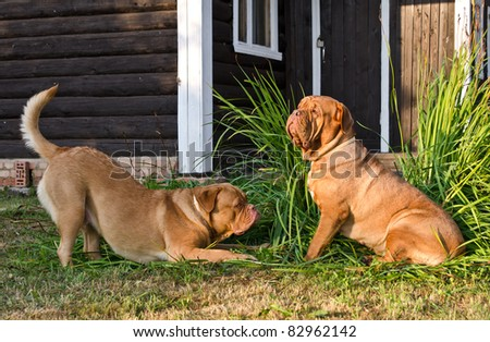 Two dogs of Dogue De Bordeaux breed playing near wooden house