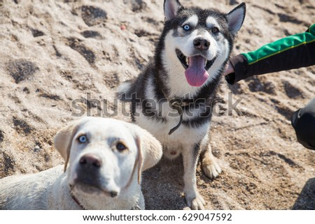 two dogs of husky and labrador...