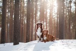 two dogs on the snow in winter outdoors Nova Scotia duck tolling Retriever and Australian shepherd in the forest