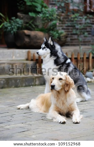 Two dogs, one golden retriever and Husky dog playing in the yard - stock photo