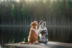 Two dogs outdoors, friendship, relationship, together. Nova Scotia Duck Tolling Retriever and a border collie