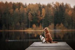 Two dogs outdoors, friendship, relationship, together. Nova Scotia Duck Tolling Retriever, Toller. Jack Russell Terrier