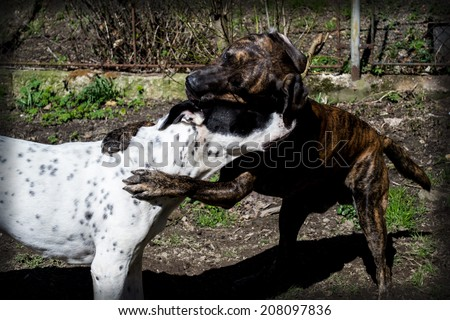 Two dogs playing, game, game, big dog, garden, home, watchmen, domestic dog, large breed, race, match, mates, black dog, white dog,  happy dogs, brindle color