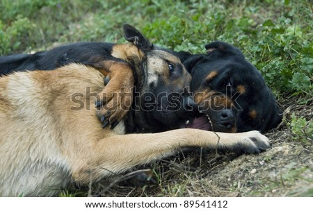 two dogs playing in the grass: rottweiler and belgian shepherd malinois