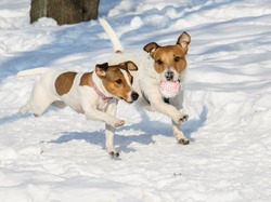 Two dogs playing together with a ball at winter park