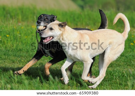 two dogs run with ball kanaan-shepherd and terrier