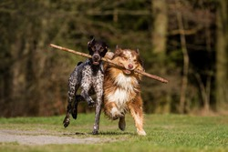 Two dogs running holding and sharing a stick