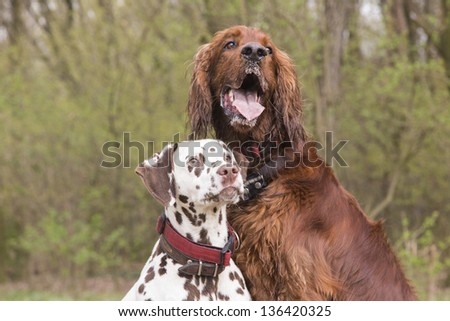 Two dogs sitting near each other looking to the trainer - stock photo