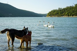 two dogs standing in the water are watching with interest a group of swans and playfully wagging their tails, clearly wanting to play with them