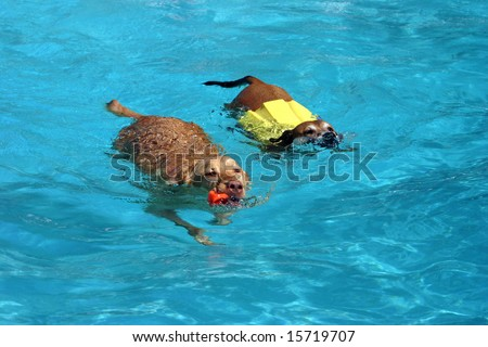 Two dogs swimming together in a pool - stock photo