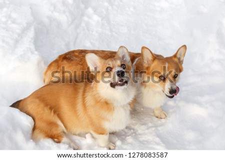 Two dogs Welsh Corgi cardigan plays in winter on snow for a walk