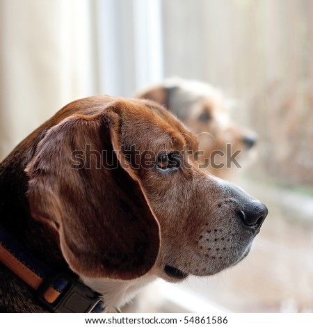 Two dogs with separation anxiety looking out the window and eagerly await the return of their owners.  Shallow depth of field.
