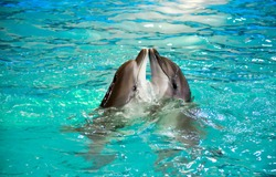Two dolphin play in water