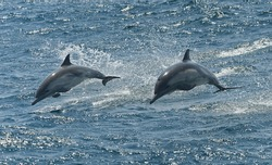 Two Dolphins jumping
