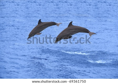 Two dolphins jumping in the Caribbean sea