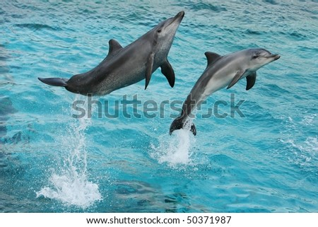 Two dolphins leaping out of the blue water