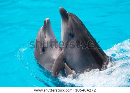 Two dolphins swim in the pool
