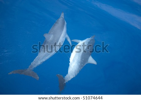 Two dolphins, swimming in the pacific ocean near Hawaii, during mating ceremony #51074644