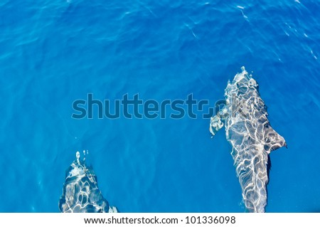 Two Dolphins swimming in water, as seen from above water